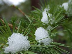 Lärche im Schnee